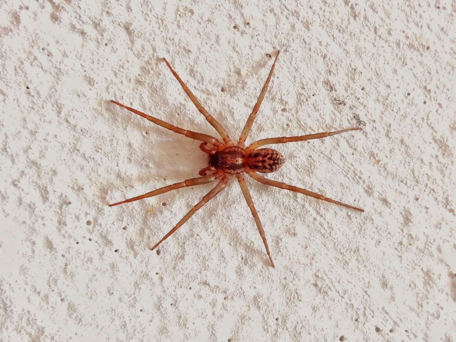 """Araneae (grego: arachne; """"aranha"""")"""