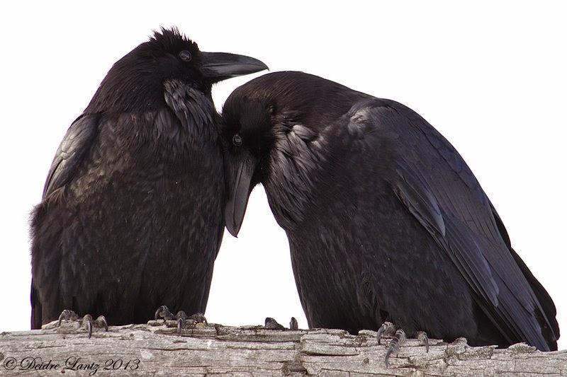 Image result for Sad Raven bird