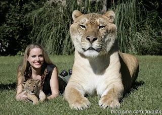 artikel-populer.blogspot.com - Hercules, Kucing Hibrid Terbesar di Dunia