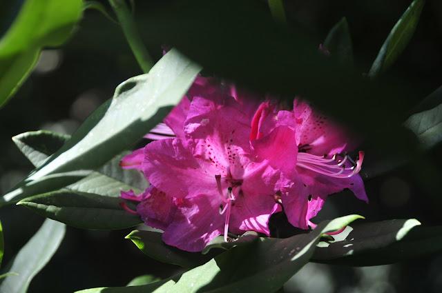 rododendro rosa
