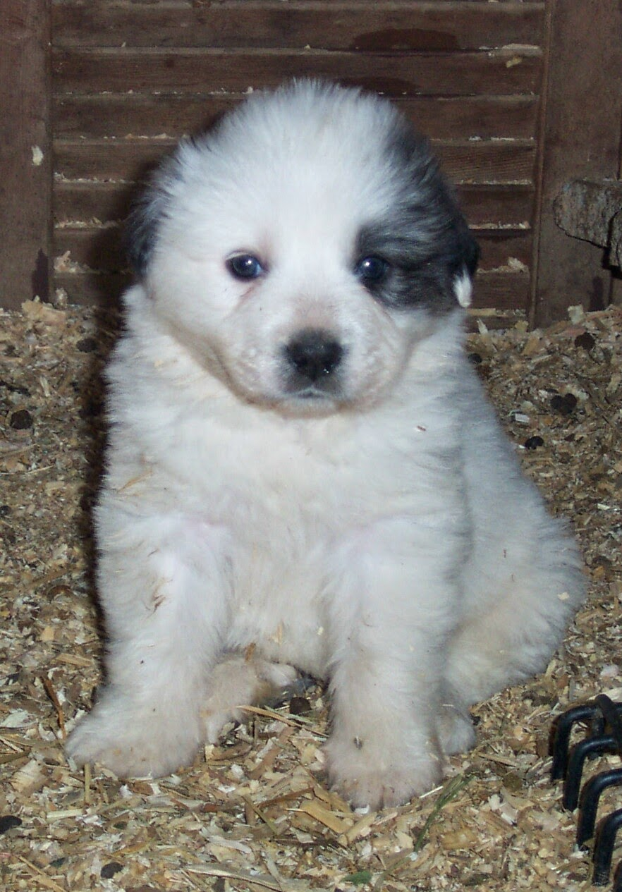 Rules Of The Jungle Great Pyrenees Puppies
