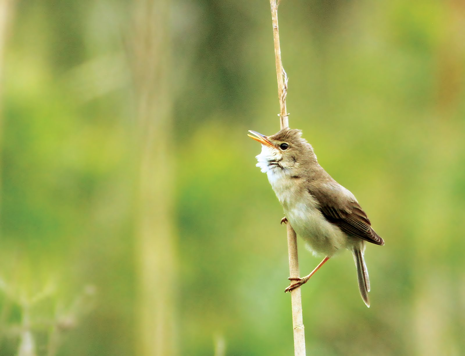 MARSH WARBLER