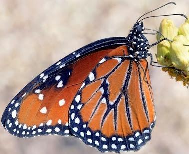 Queen Butterfly - 018