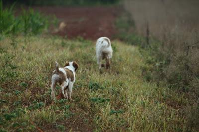 Bird dog pup follows another