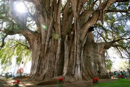 Pohon Arbol del Tule