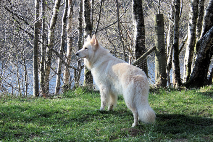 Long Haired White German Shepherd