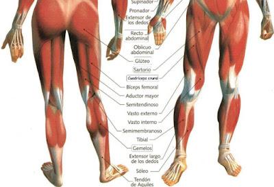 musculospernas.jpg
