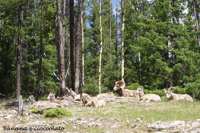 mufloni, canada