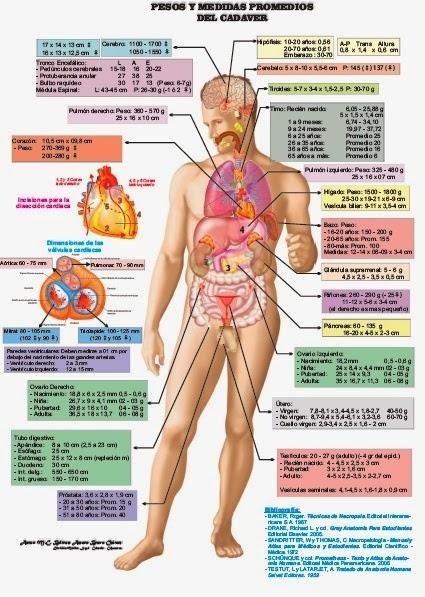 Anatomia humana for Medidas antropometricas del cuerpo humano