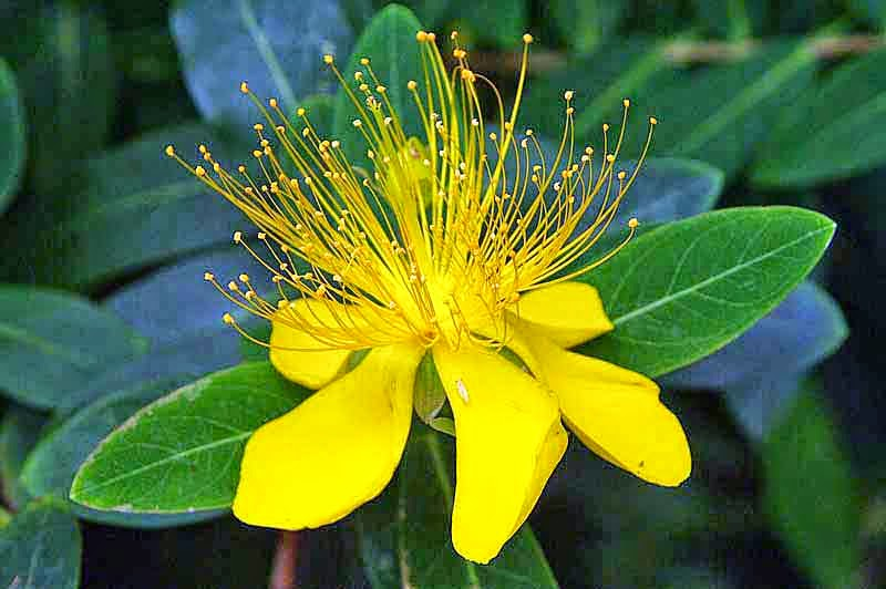 flower, St. John's Wort