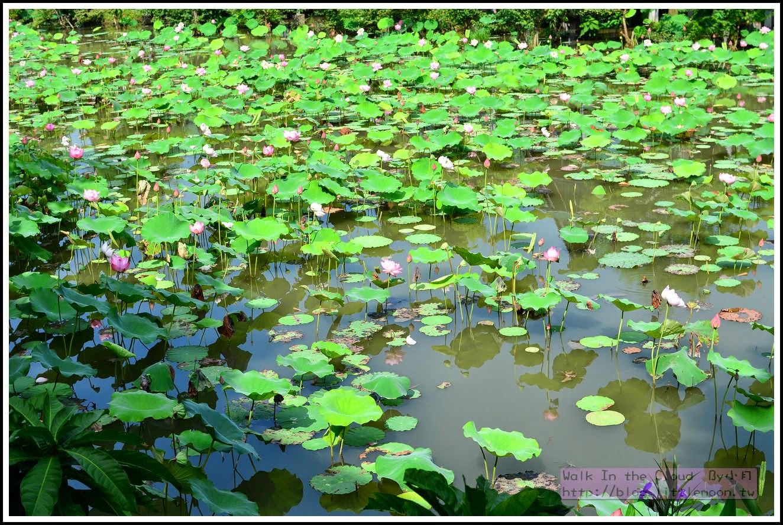早上的蓮花池
