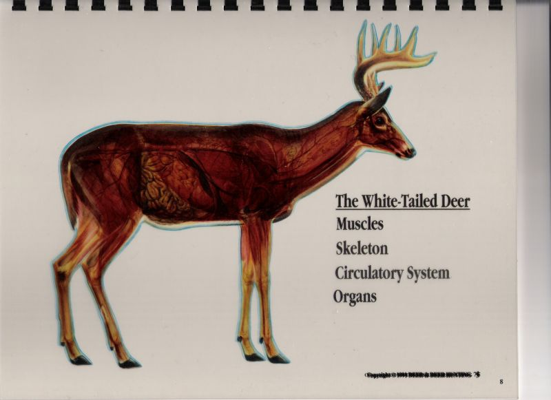 Olman Outdoors Whitetail Deer Vitals Diagram