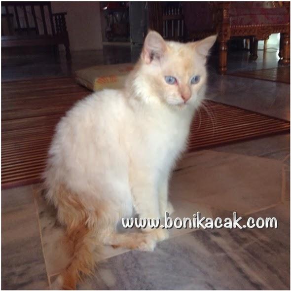 kucing, cara merawat kucing terkena demam kuning, kucing terkena demam kuning, cara-cara untuk merawat kucing yang terkena demam kuning, demam kuning, bagaimana nak mengetahui kucing demam kuning