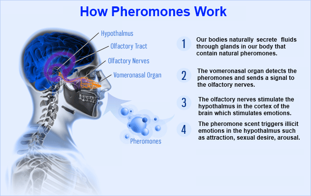 Nowadays, the best pheromones are incorporated into perfumes, ...
