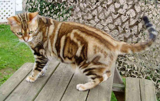 American Shorthair Cat Picture