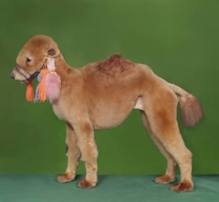 http://3.bp.blogspot.com/--d0t4gSCBI0/TpKfkmaoitI/AAAAAAAABUs/EKXmCnYZM9M/s1600/a97931_animal-hair_5-camel.jpg