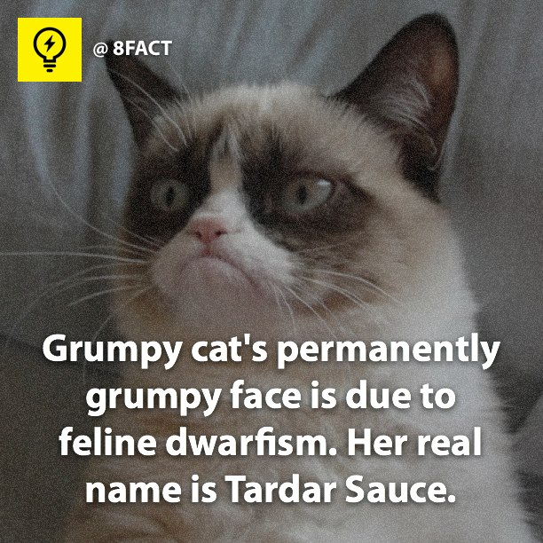 grumpy cat s permanently grumpy face is due to feline dwarfism her