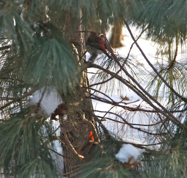 purple finch and male cardinal in white pine