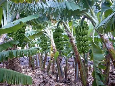 Islas Canarias plátanos