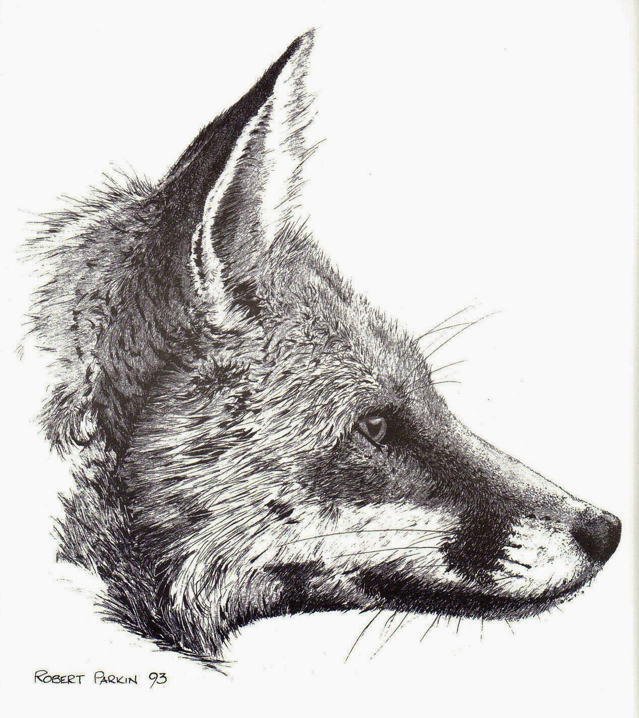 'Red Fox' (Pen drawing)