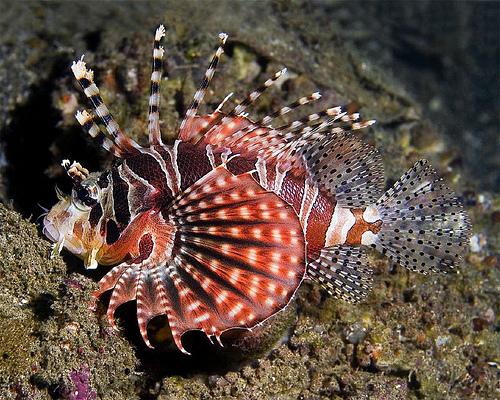 Zebra Lionfish - Fishe...