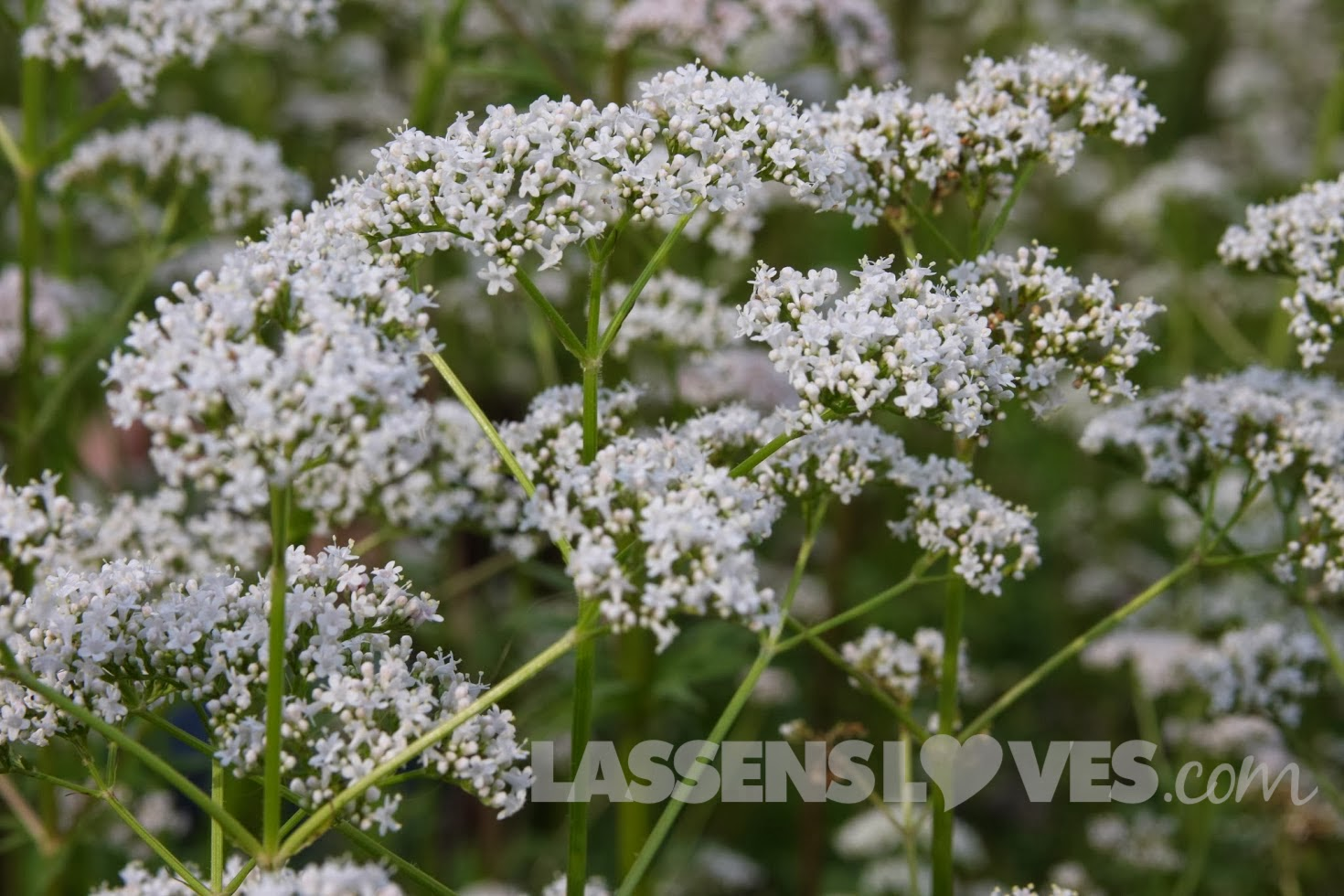 lassensloves.com, Lassen's, Lassens, Gaia+Herbs, Valerian+Flowers