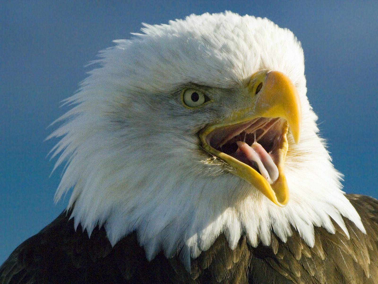 Realistic Bald Eagle life-size & life like replica sculpture