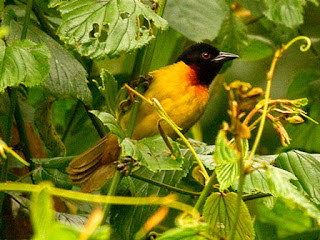Birds, birding, bird watching, news, Rwanda ,Birding Africa has been voted among the top 5 most recommended bird tour companies worldwide. Our Rwanda tour focuses on the Albertine Rift endemics at Nyungwe Forest. Our Uganda Specials tour targets Green-breasted Pitta, Shoebill, African Green Broadbill and Mountain Gorillas just in 11 days, thanks to our expert African tour leaders (Michael Mills and Callan Cohen) and intricate knowledge of the ground logistics. Our northern Uganda extension adds on 5 days to Mabira Forest and the Royal Mile. Read our trip reports