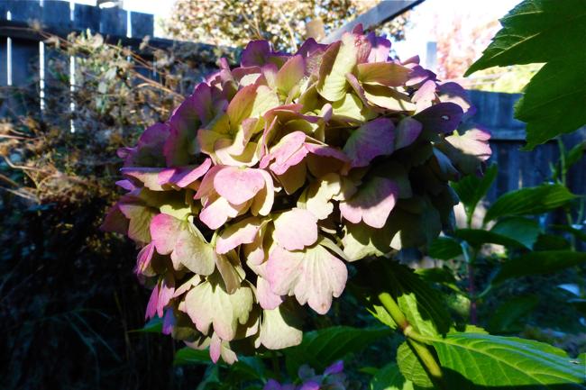 hydrangea, purple, purple hydrangea, backyard, garden