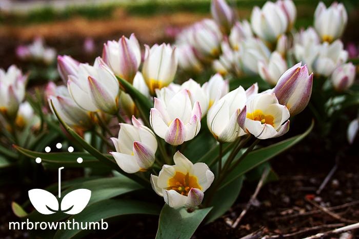 Tulipa polychroma-flowers