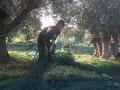 Bei der Olivenernte