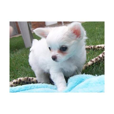 Chiuaua Puppies on Chihuahua Puppy Pictures And Information   Puppy Pictures And