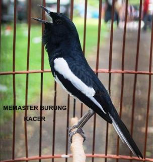 ... Foto - Foto Burung Kacer , simak juga artikel lain tentang burung