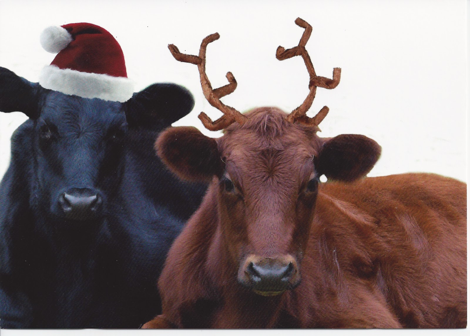 Cows Christmas Cards | www.topsimages.com