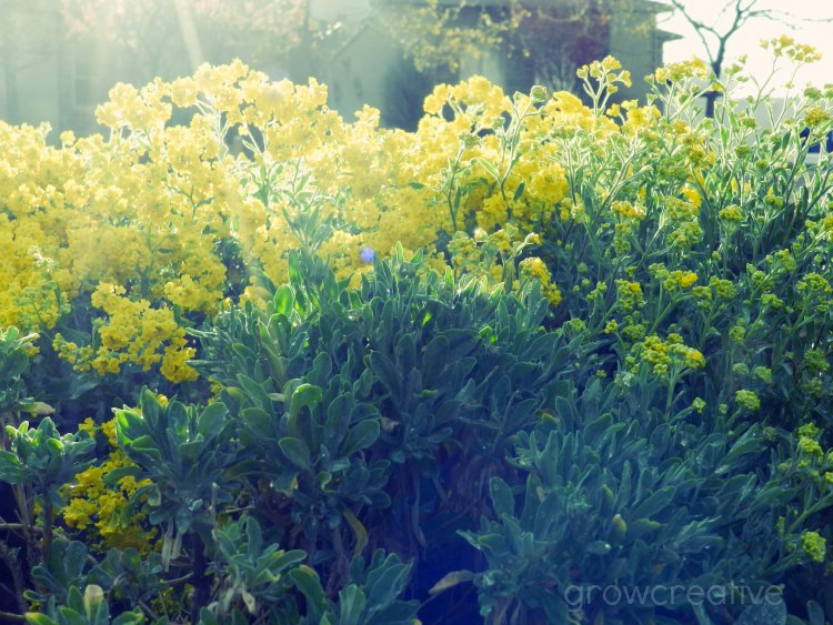 yellow flowers in the sun- basket of gold: growcreative