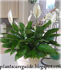 plants care guide peace lily plant care tips. Black Bedroom Furniture Sets. Home Design Ideas