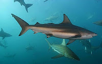 Copper Shark - Carcharhinus Brachyurus