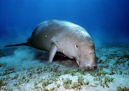 The Wild Life Review: The Stellers Sea Cow - photo#25