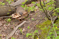 Woodchuck carrying leaves to den