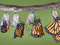 Kisah Kepompong Kupu-kupu