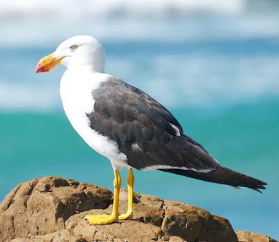 Pacific Gull (Larus pacificus)