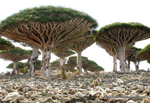 Darah Naga Yang Cantik Tumbuh Di Tanah Gersang