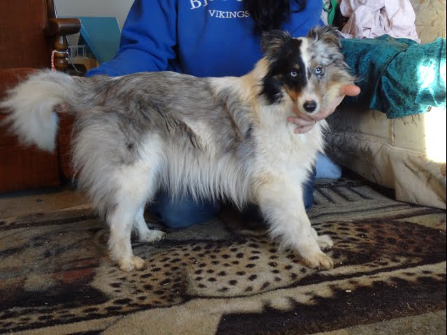 Sheltie female, blue merle