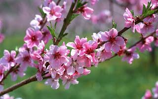 hình hoa đào đẹp