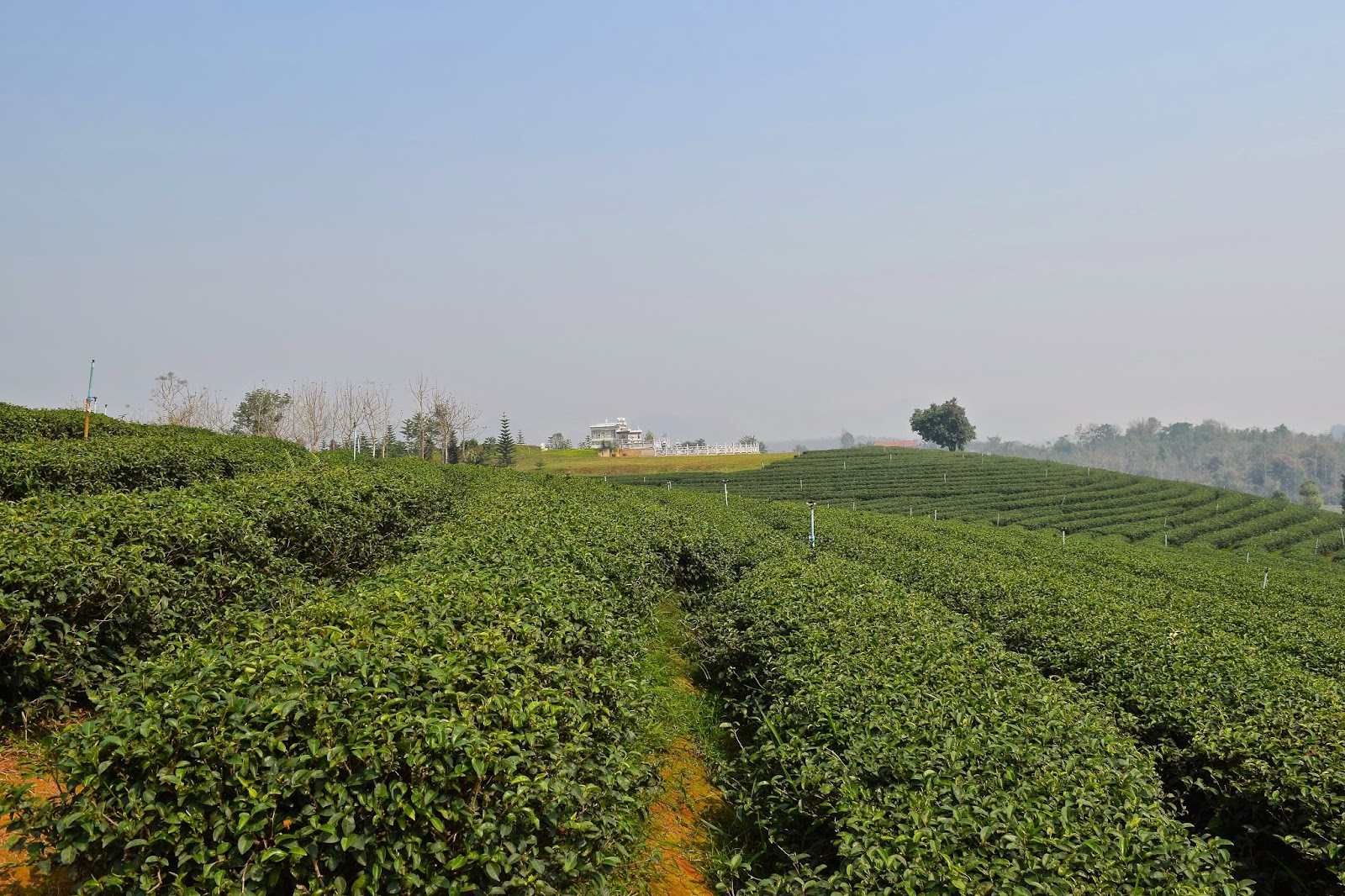 Chang Rai Tea Plantation