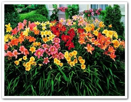 Лилейники цветы-однодневки