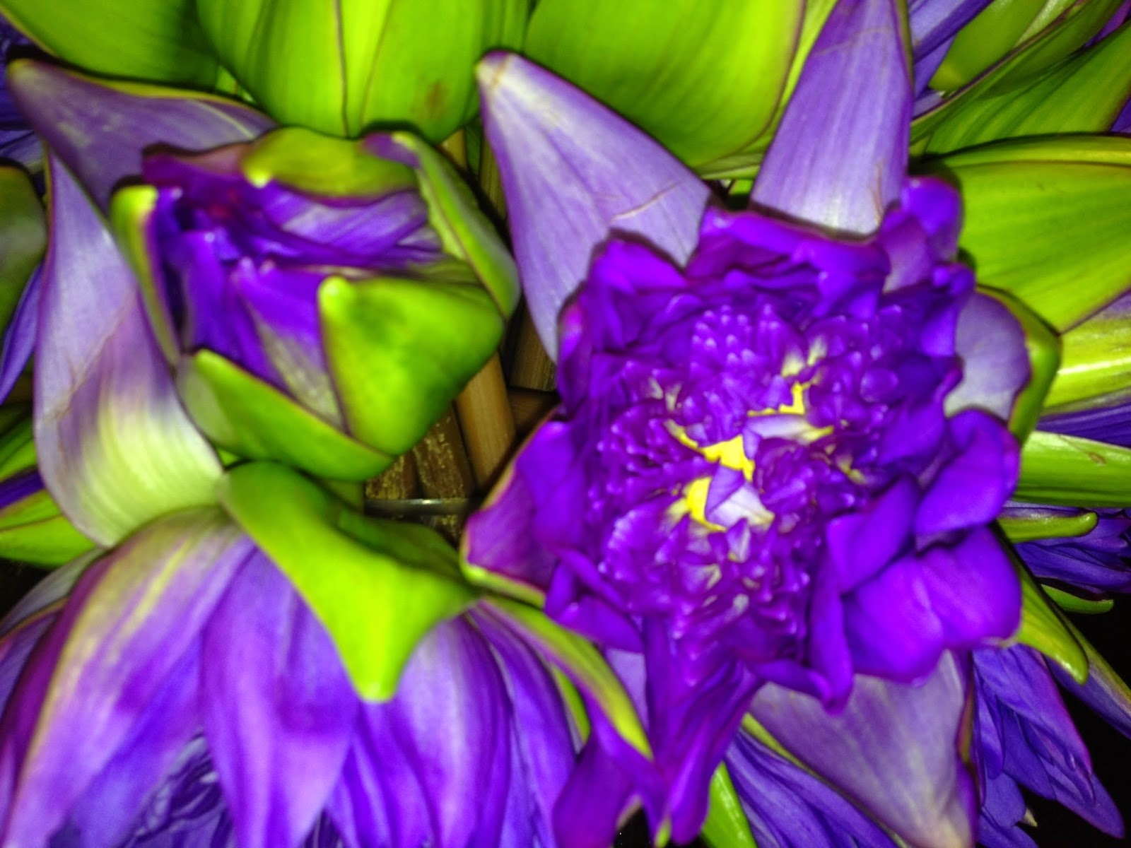 Beautiful purple lotus flowers from bangkok self sagacity the third meaning refers to faithfulness those who are working to rise above the muddy waters will need to be faithful followers mightylinksfo