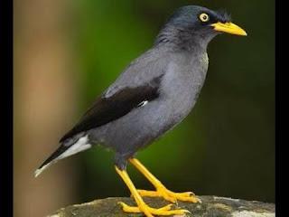 Burung Jalak Kerbau Atau Jalak Hitam Yang Masih Di Minati Para KicauMania Dan Juga Membahas Tentang Kelemahan Dan Kelebihannya