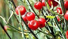 tanaman penghasil efedrin