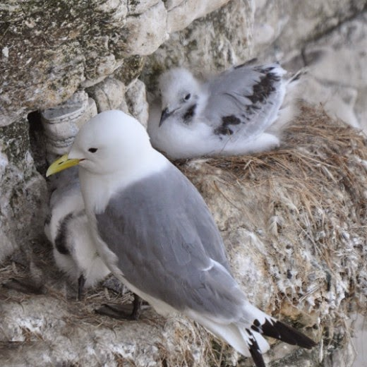 adult kittiwake with chicks on cliff nest